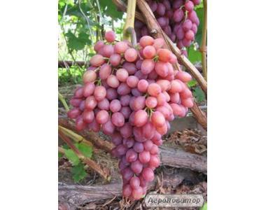 Саджанці сорт винограду Кишмиш Променистий