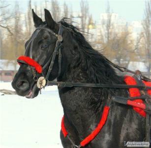 Продам коня Орловського рисака (мерин) 9 років