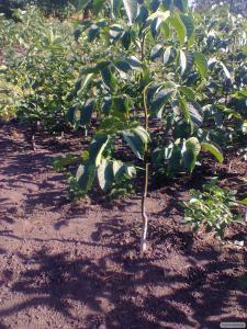 Саджанці сортового волоського горіха