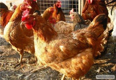 Фоксі Чік. Продам Яйце інкубаційне Фоксі Чік (Foxy Chick)