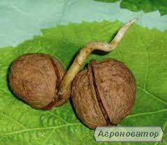 Посадочный материал грецкого ореха