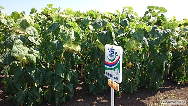 Семена подсолнечника НС Имисан