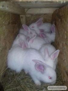 Кролики, кролики, панон, белый кролик, кролики