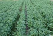 соя ГМО стійка до раундапу