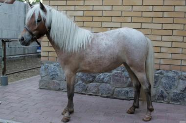Продам кобилу Шетлендского поні