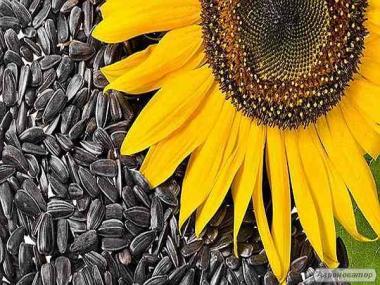 Семена Подсолнечника «Дракон» (гибрид)