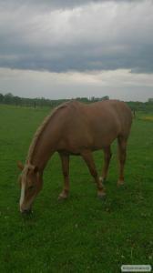 Продам кобилу  верхово-упряжної породи