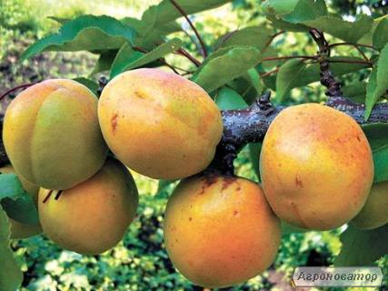 Саджанці абрикоса сорту Осінній Світанок від виробника