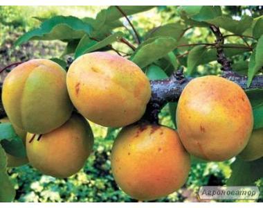 Саженцы абрикоса сорта Осенний Свитанок от производителя