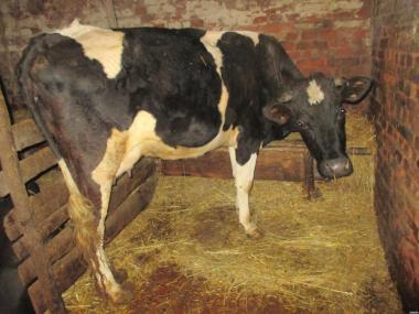 Корова(Первотелка)