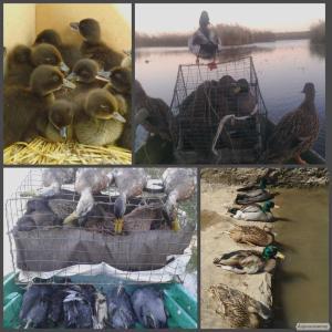 Продаю подсадную утку крякву дикую живую Семеновскую