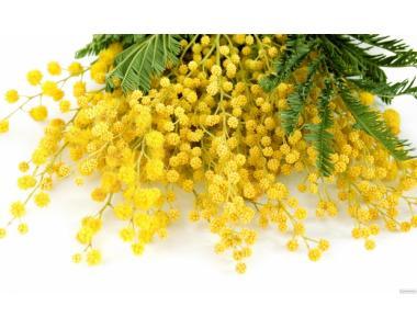 Мимоза, цветы мимозы из Грузии.