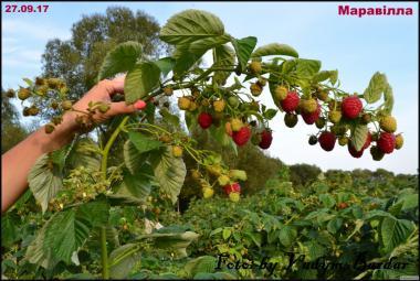 Новинка в Україні - малина Маравілла