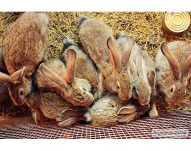 Продам кролів порода фландр