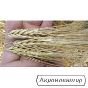 Семена ячменя озимого - сорт МАЙБРІТ. Немецкая селекция