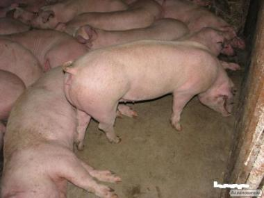 продам свиньи мясна порода(F+ДЮРОК) 100ГОЛОВ