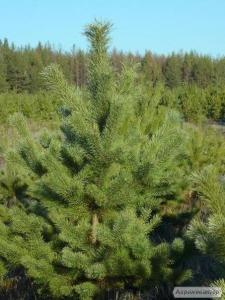Новогодние Сосны(елки) оптом