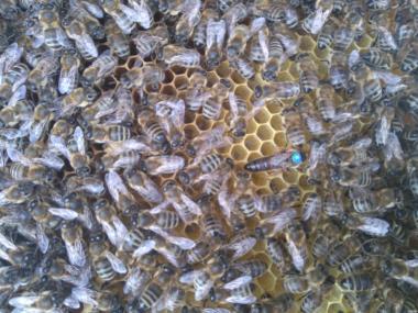 Плідні бджоломатки породи Карніка