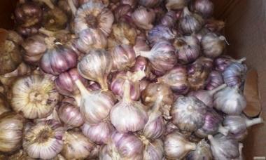 Продам чеснок недорого, урожай 2017 г. Сорт