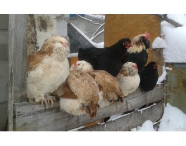 Продаю цыплят, фавероль, кохинхин.