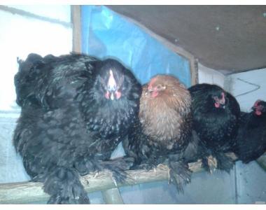 Продам курчат, фавероль, кохінхіни.