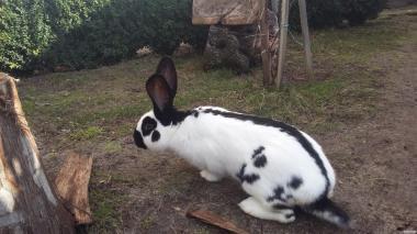 Продаются кролики породы немецкий великан (Строкачі)