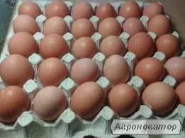 Реалізуємо інкубаційне яйце Ломан Браун