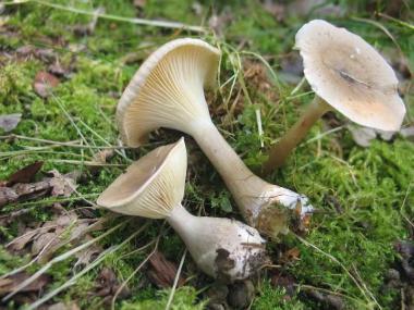 Мицелий Говорушки булавоногой / Говорушка булавовидноногая (Clitocybe clavipes)