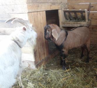 Нубійська пара,зааненский козел