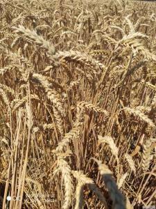 Озимая пшеница,ячмень,горох элита,1 репродукция!  (продам)