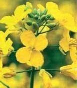 Семена озимого рапса Pioneer ПР46В14 / PR46W14