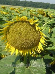 Здоровань сорт соняшнику