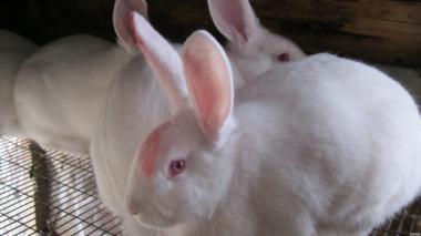Продам кроликов пород Белый паннон и Серебристый