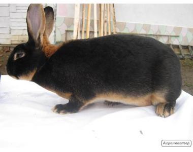 Продам кролі рекси