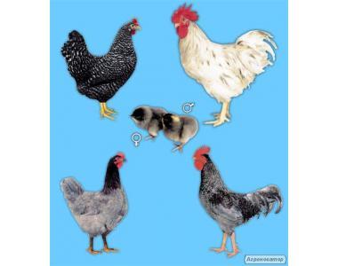 """Продам цыплята особо крупной породы """"Доминант"""