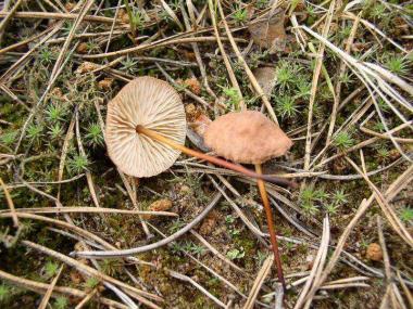 Мицелий Чесночника обыкновенного / Негниючник обыкновенный (Marasmius scorodonius)