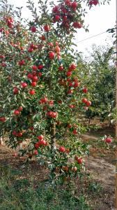Продам яблуко урожай 2016 року