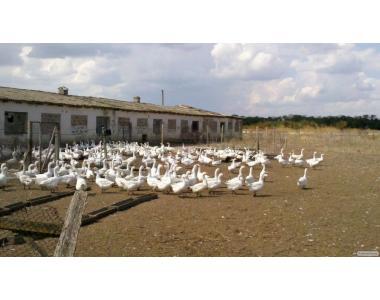Продам племенное стадо гусей породы Легард