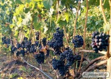 Домашнее Красное Бессарабское вино!