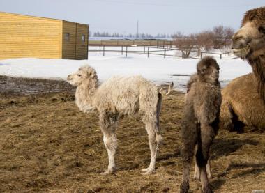 Продам верблюденят; Camel (baby) for sale