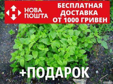 Мелисса лекарственная семена (20 шт) (лимонная трава, лимонная мята