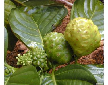 Mоринда, Noni, Сырное дерево, Morinda citrifolia