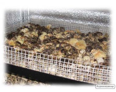 Инкубационные перепелиные яйца повышенной оплодотворенности Днепр