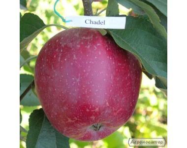 Саженцы яблони сорта Кадел , от производителя, отличного качества
