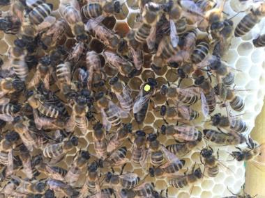 МАТКА КАРПАТКА 2018 ПЛОДНЫЕ ПЧЕЛОМАТКИ (Бджоломатки, Бджолині матки)