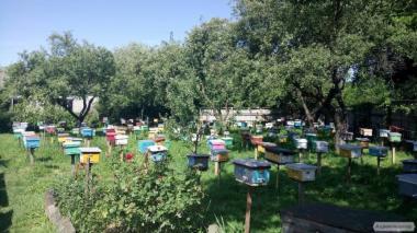 МАТКА КАРНИКА, КАРПАТКА 2020 ПЛОДНЫЕ ПЧЕЛОМАТКИ (Бджолині матки)