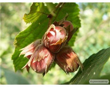 Саджанці горіха фундук сорт Зеленолистный, Сріблястий, Дар Павленка
