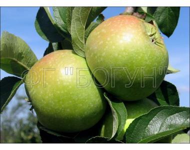 Саджанці яблуні Ренет Симиренка (на підщепі 54-118)