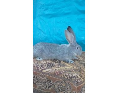 Продам кроликів (Фландр, Обер, Різен)