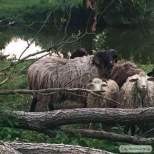 Продам крупного барана ,овцы